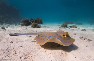 blue spotted stingray koh chang-tucatravel