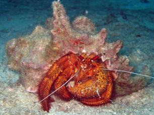 hermit krab - nurkowanie koh chang tajlandia