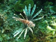 lion fish koh chang-tucatravel
