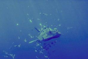 rekin wielorybi hin luk bat - tucatravel nurkowanie