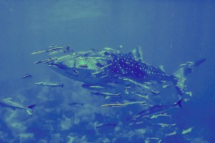 whale shark koh chang - tucatravel polski instruktor nurkowania