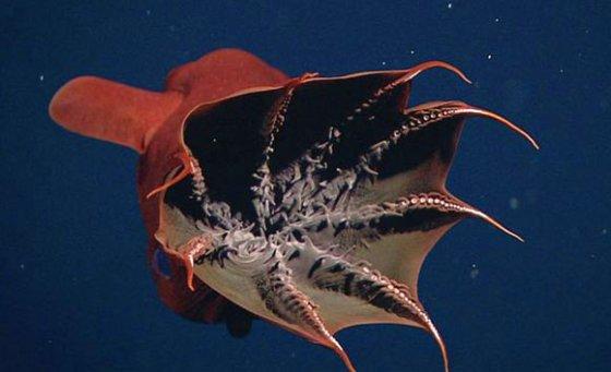 vampire-squid-mbari